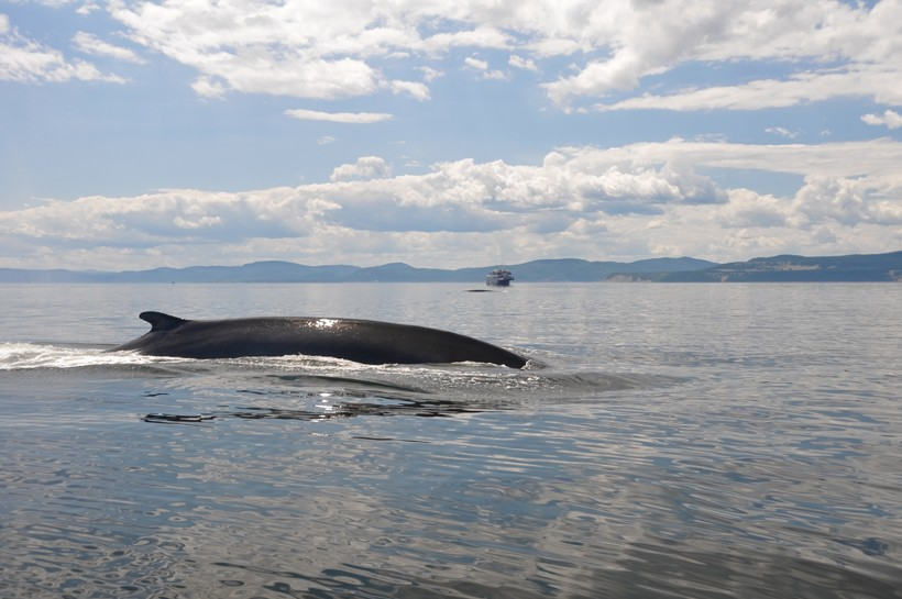 Finback whale swimming in the st Lawrence river in Canada