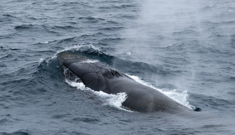 Blow sequence of the finback whale