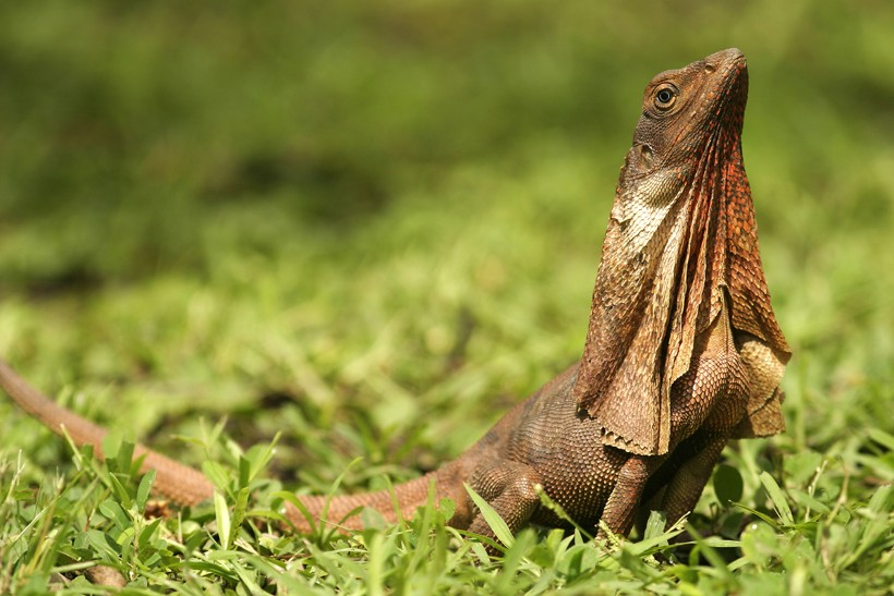 frilled lizard sunbathing
