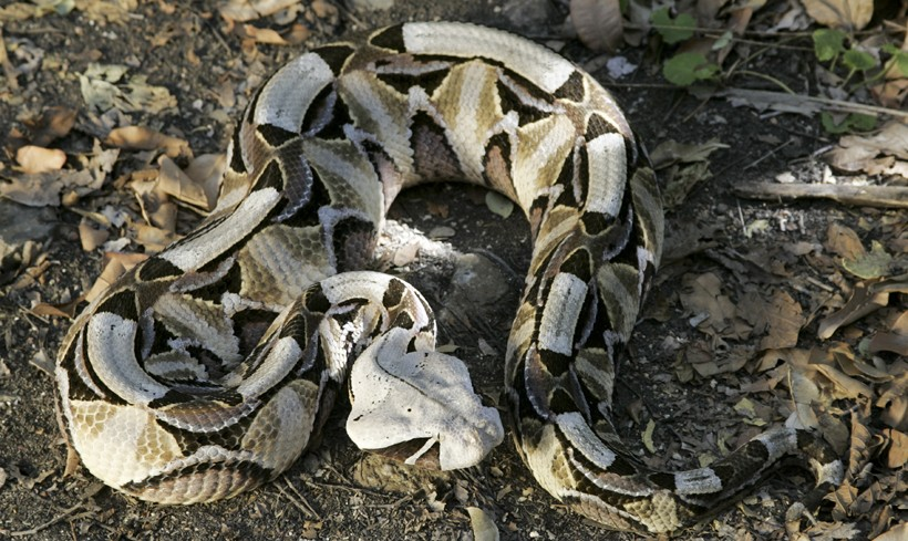 East African Gaboon viper
