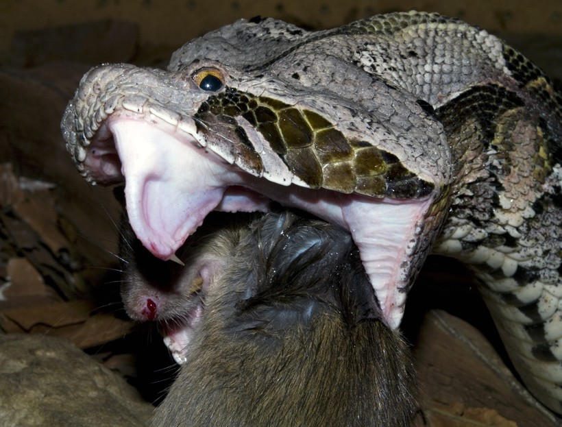 Gaboon viper eating a rodent