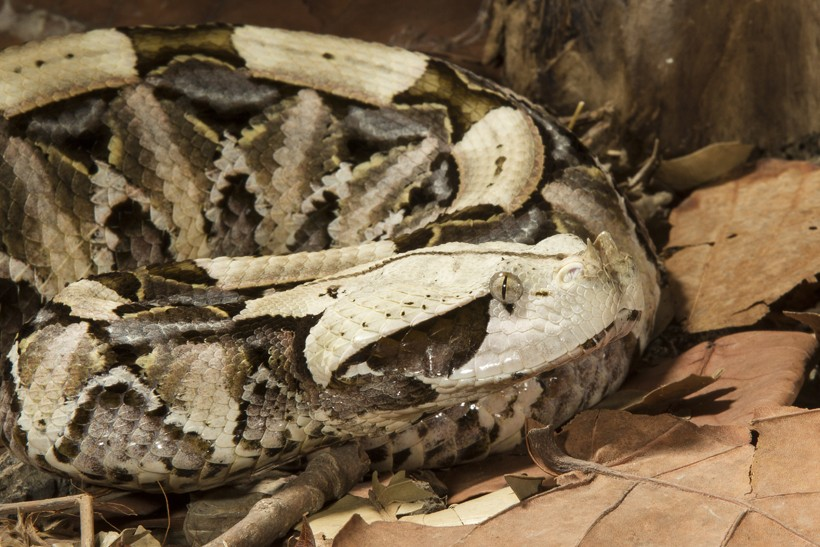 Gaboon viper on forest floor in africa