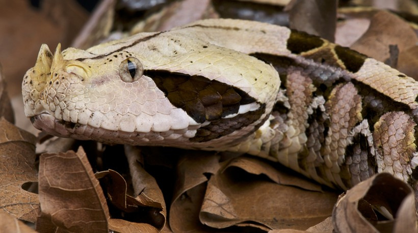 Gaboon viper within leaves on the forest floor