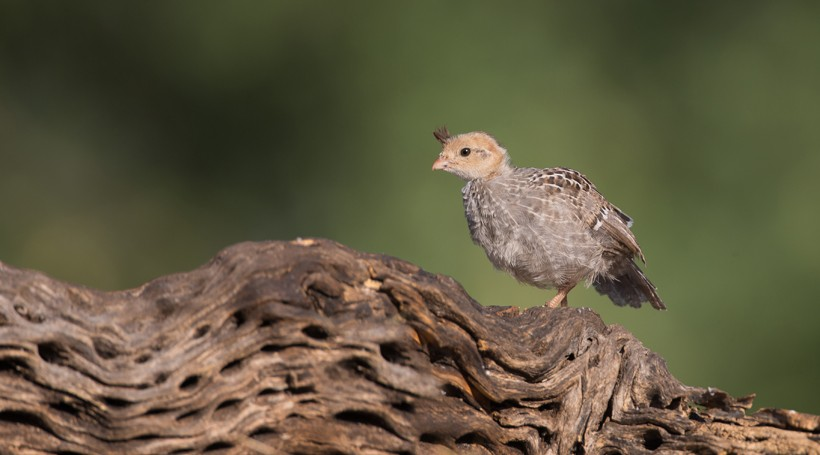 Gambel's quail chicks are capable of moving out of the nest as soon as they hatch.