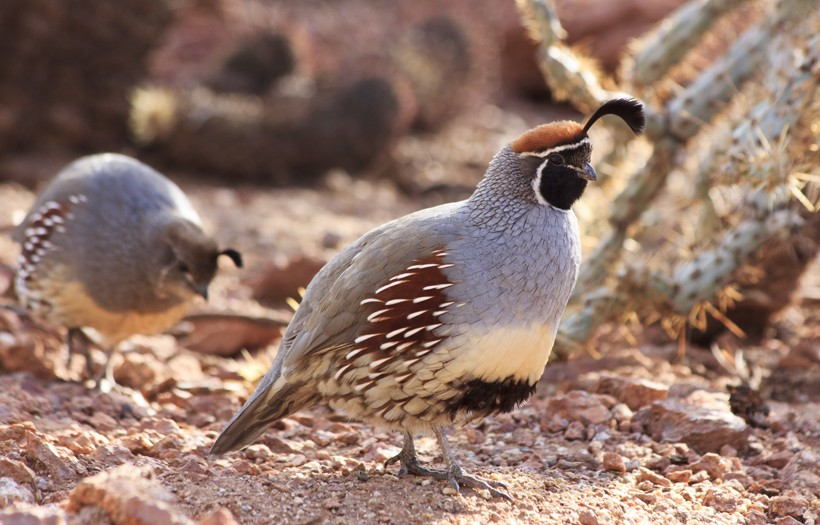The Gambel's quail possess a bluish-gray colored plumage, with scaly feathers on the lower side of the body.
