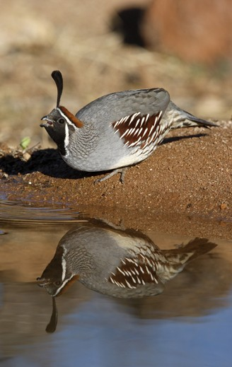 Male gambel's quail, arizona USA
