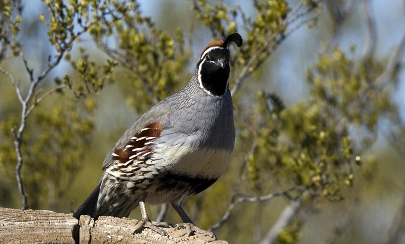 New World quails like the gambel's quail are classified in the family Odontophoridae