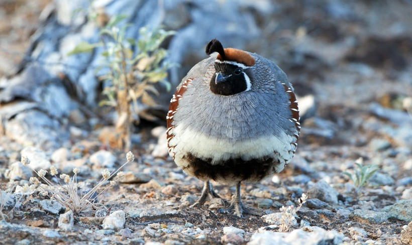 Male gambel's quail with ruffled feathers, Arizona's Sonoran Desert