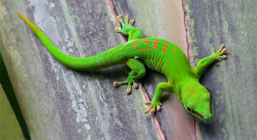 Green gecko from madagascar with the feet turned outwards