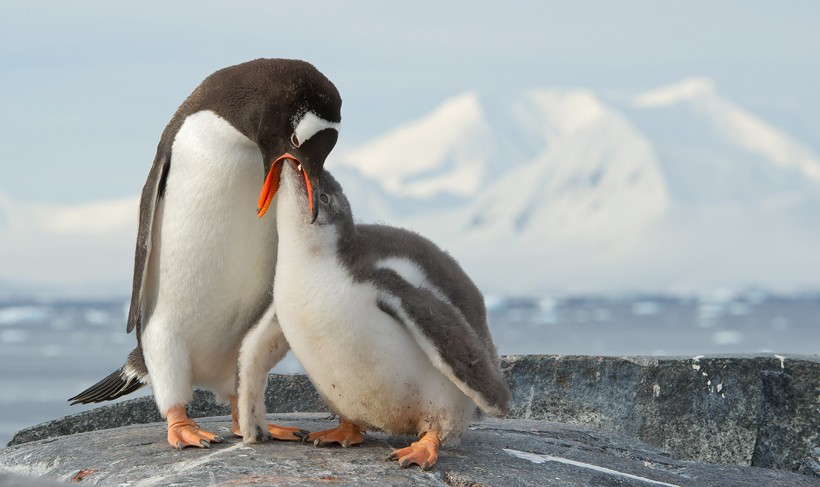 Gentoo penguin feeding chick on rocky beach, Antarctic Peninsula