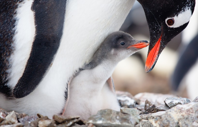 Gentoo Penguin in nest with chick