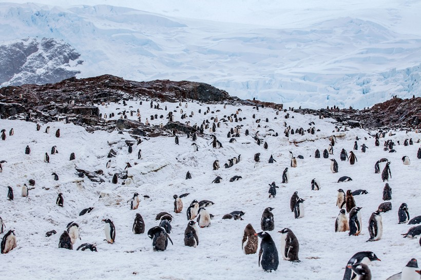 Large colony of gentoo penguins against rocks in background