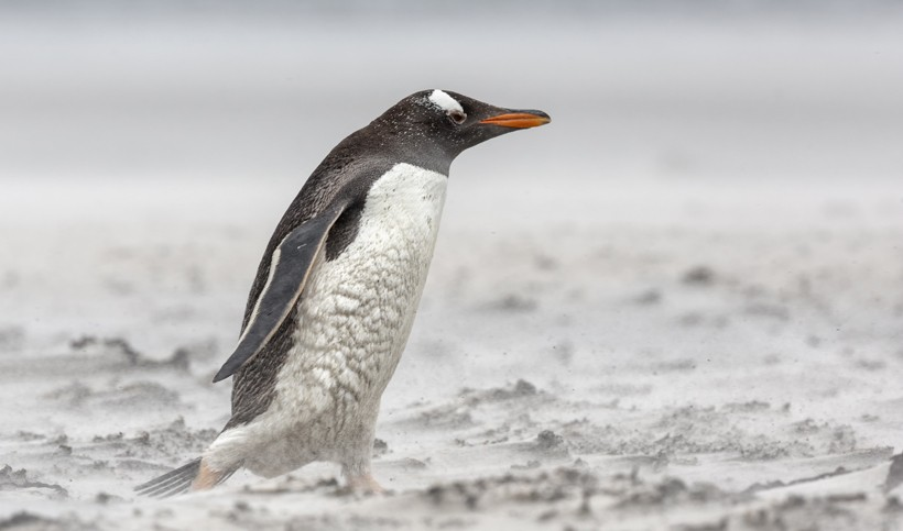 Gentoo penguin walking in a blizzard