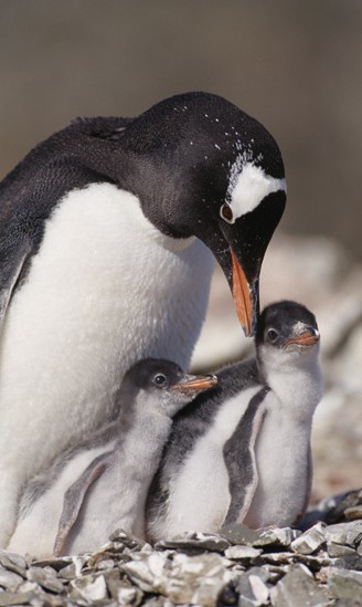 Gentoo penguin with two chicks