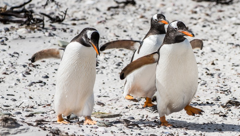 Gentoo Penguins walking on the beach