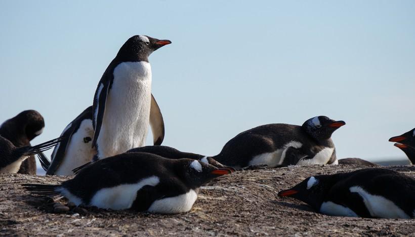 Gentoo Penguins breeding the eggs