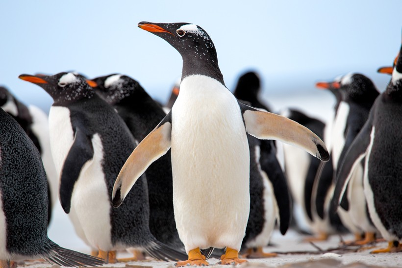 Gentoo Penguins at the Falkland Islands