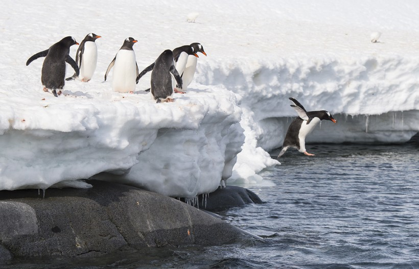 Gentoo Penguins jump from the ice