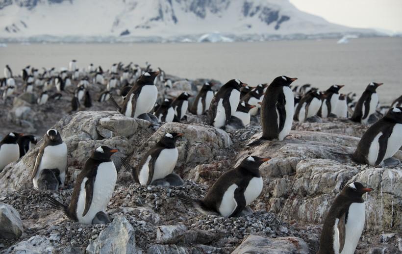 Gentoo Penguins nesting at Ronge Island