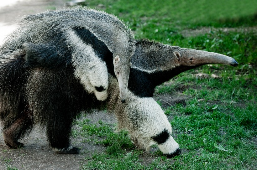 black and white giant anteater with young on his back