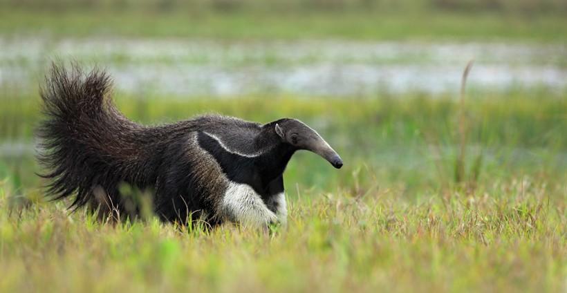 Running giant anteater