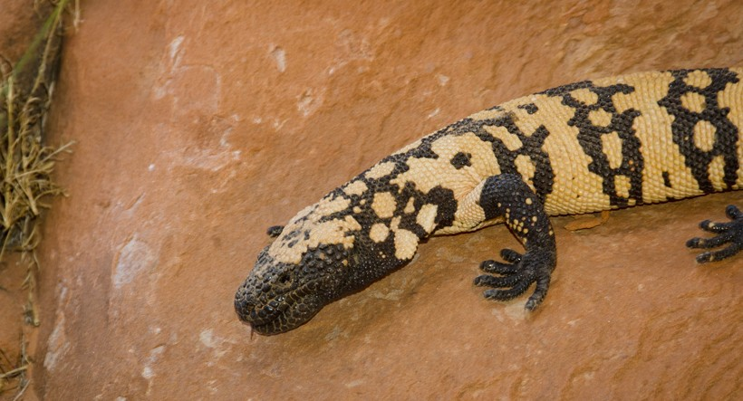 Banded Gila Monster, Valley of Fire State Park near Las Vegas, Nevada
