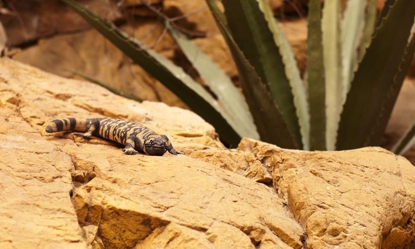 Gila Monster (Heloderma suspectum) | about animals