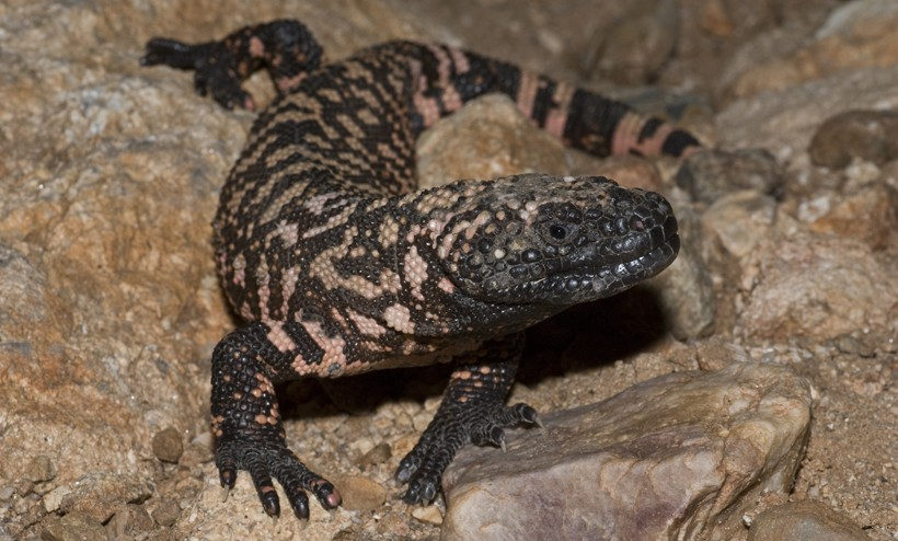 The Gila Monster is a near threatened species