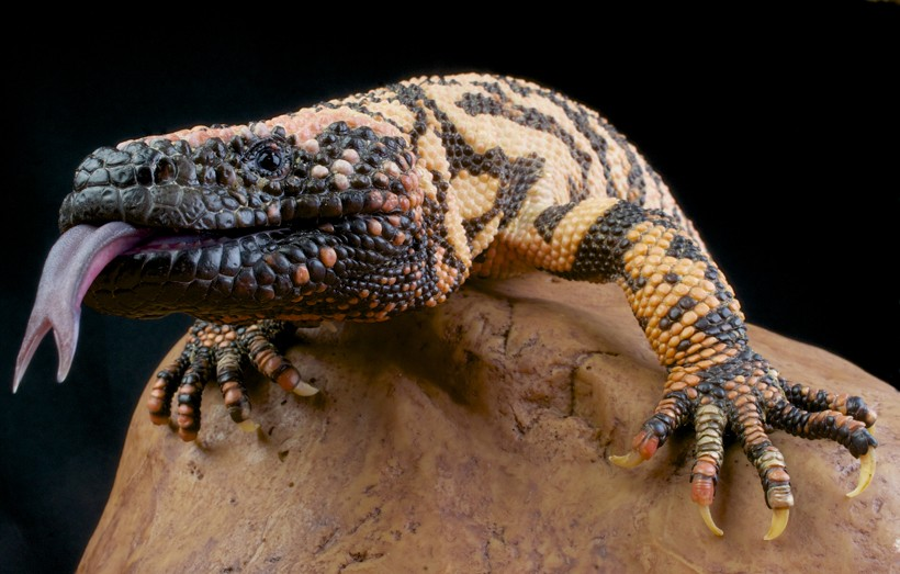 Gila Monster tongue out of mouth