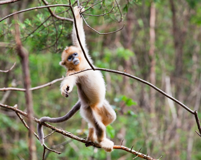 Golden snub-nosed monkey climing in the trees