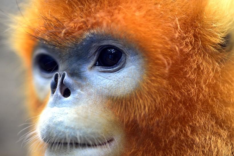 Closeup head golden snub-nosed monkey