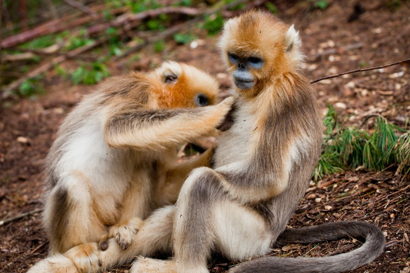 Golden Snub-nosed monkey delousing eachother