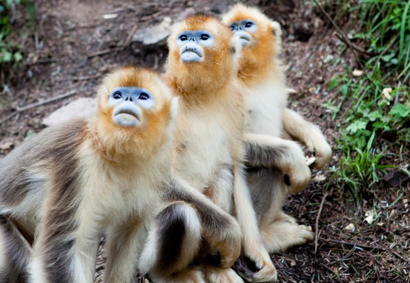 Group of snub-nosed monkeys