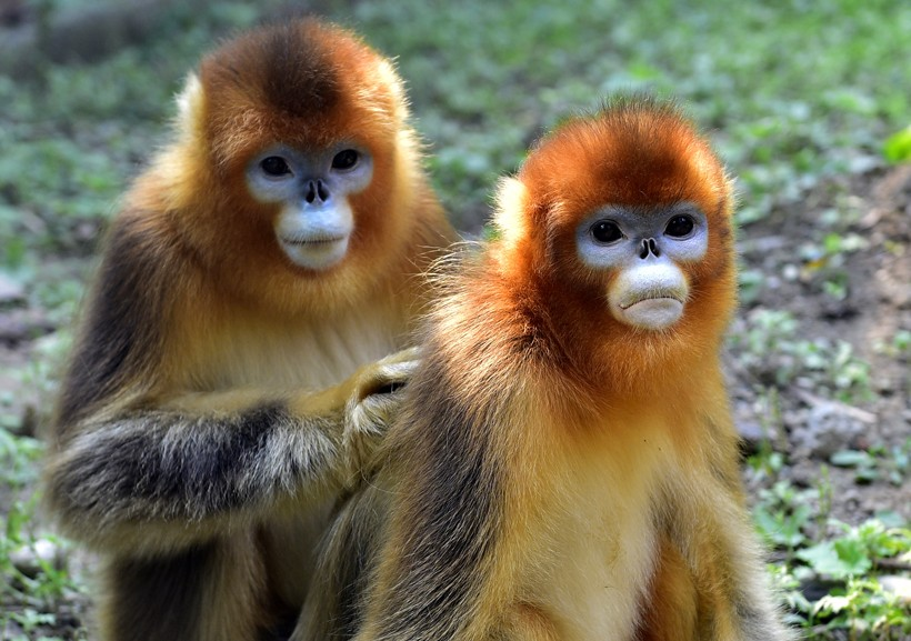 Golden Snub-nosed monkeys delousing eachother