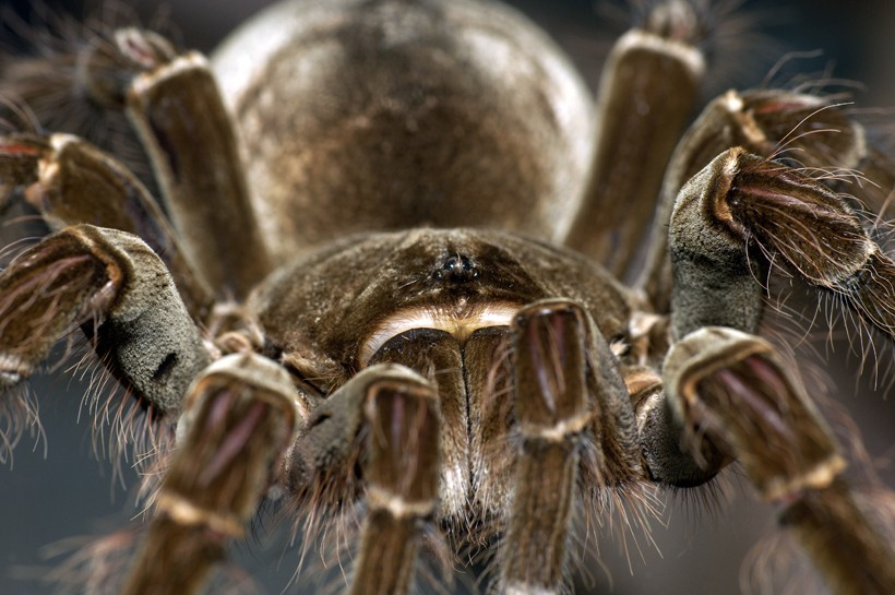 Closeup of the bird-eating spider