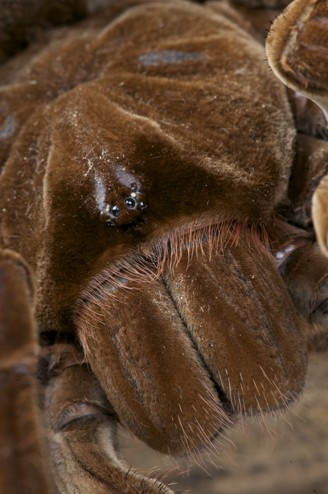 Closeup of eyes/fangs of the bird-eating spider