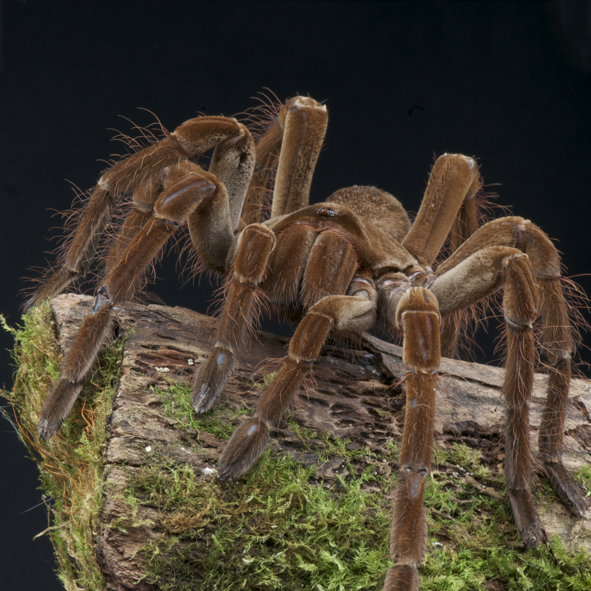 & Goliath Bird-Eating Spider (Theraphosa Blondi) | about animals