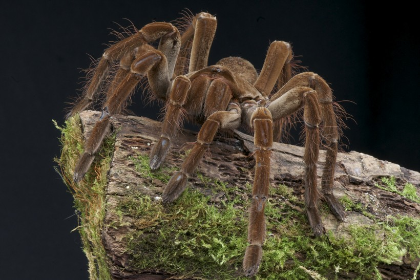 Goliath bird-eating spider on a rock