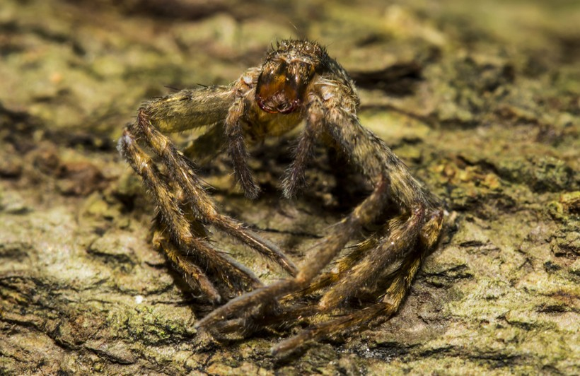 Exoskeleton of a spider (molting)