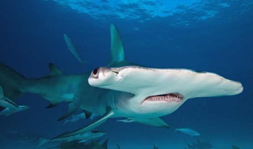 Great hammerhead closeup head