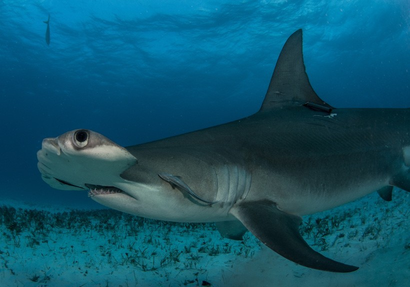 Great Hammerhead, Bimini in the Bahamas