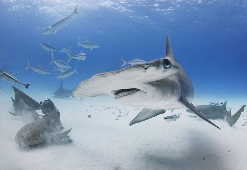 Great Hammerhead turns with fins down