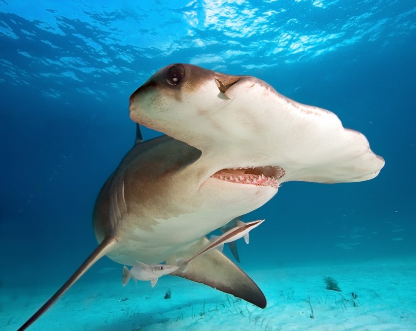 Great hammerhead shark the shallow sea