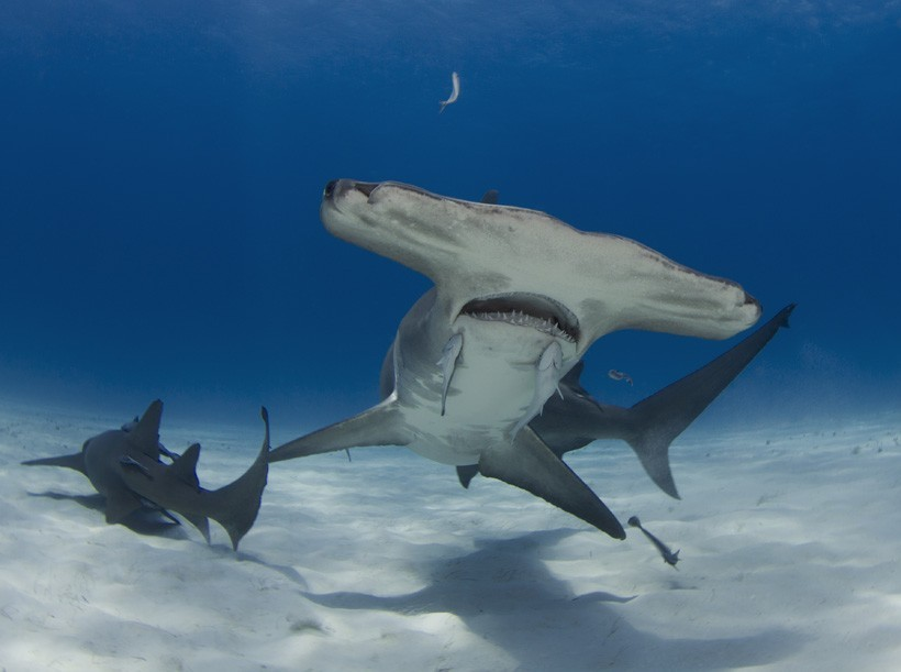 Great hammerhead shark swimming in shallow sea
