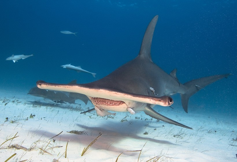 Great hammerhead with fish around its mouth