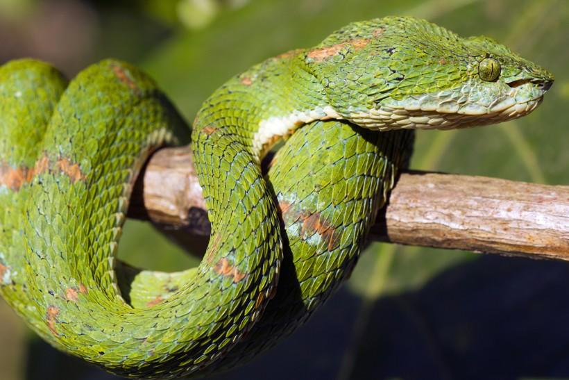 Green eyelash viper on branch