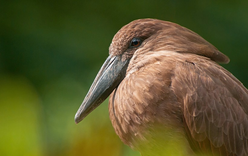 portrait of adult hamerkop bird, germany