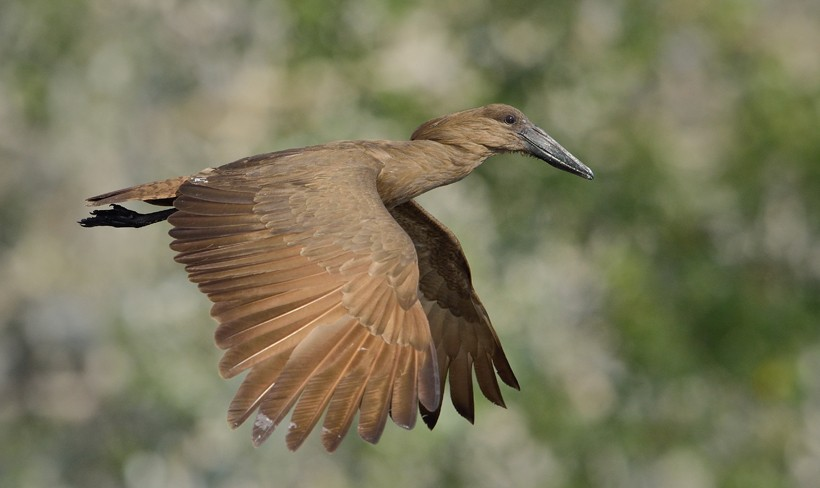 Hamerkop or Anvilhead flying in Southern Africa