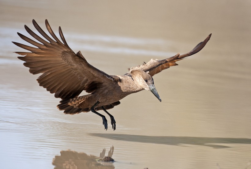 Hamerkop landing on the water, Kruger National Park, South Africa