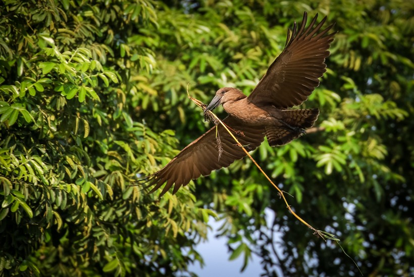 Hamerkop flying with a twig to build its nest, South Africa